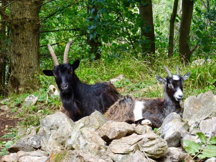 Goats on Cheddar Gorge, near Wells, Somerset